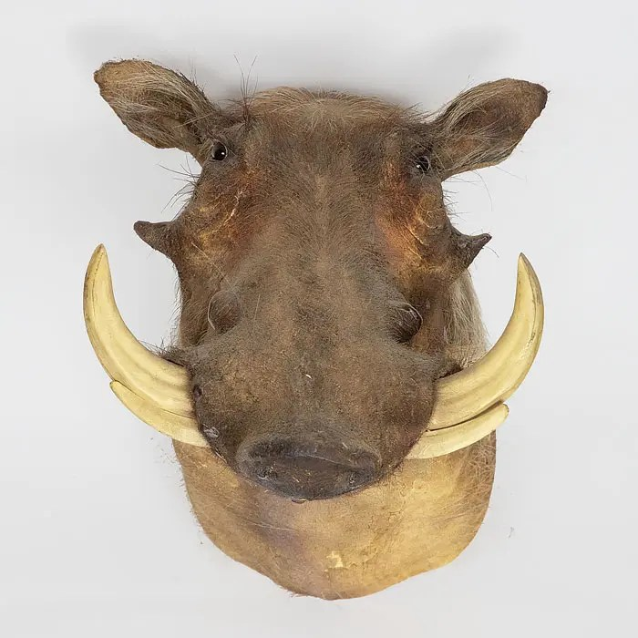 warthog-taxidermy-mount