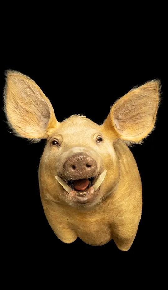 Taxidermy head of pig