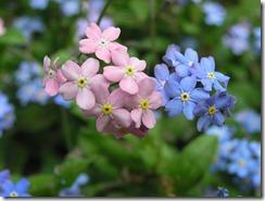 Myosotis bleus et roses.