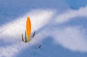 Crocus dans la neige en hiver