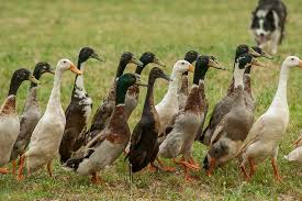 Canards coureurs indiens