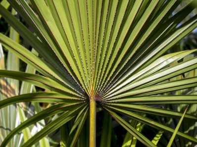 Serenoa Repens - palmetto
