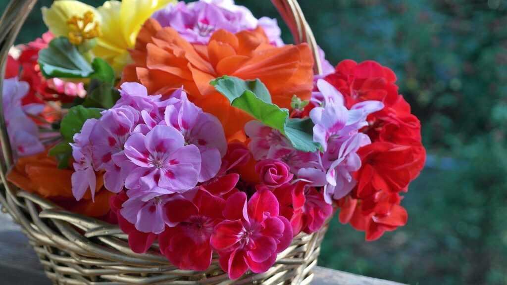 ferragosto fioriscono i gerani