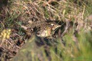 Alondra común (Alauda arvensis). Eurasian skylark