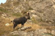 Cabra hispánica, cabra montés o íbice ibérico (Capra pirenaica). Iberian ibex, Spanish ibex, Spanish wild goat, or Iberian wild goat
