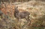 Corzo (Capreolus capreolus), roe deer