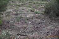 Jabalí (Sus scrofa), wild boar or wild pig