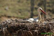 Cigüeña blanca (Ciconia ciconia). White stork