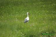 Cigüeña blanca (Ciconia ciconia). White storkk