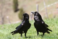 Cuervo común (Corvus corax), common raven