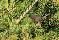 Curruca rabilarga (Sylvia undata), Dartford warbler
