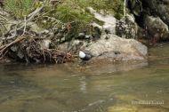 Mirlo acuático (Cinclus cinclus), white-throated dipper