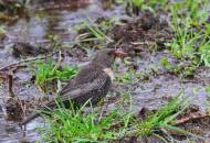 Mirlo capiblanco, (Turdus torquatus), ring ouzel