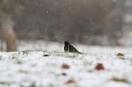 Mirlo común (Turdus merula), blackbird