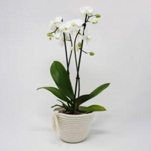 Cotton Plant Pot – S