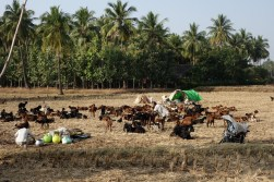 nomades et bergers occupent les champs après les récoltes