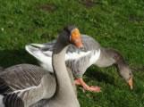 bloomin geese