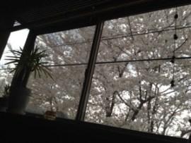 蓮田サロンの桜