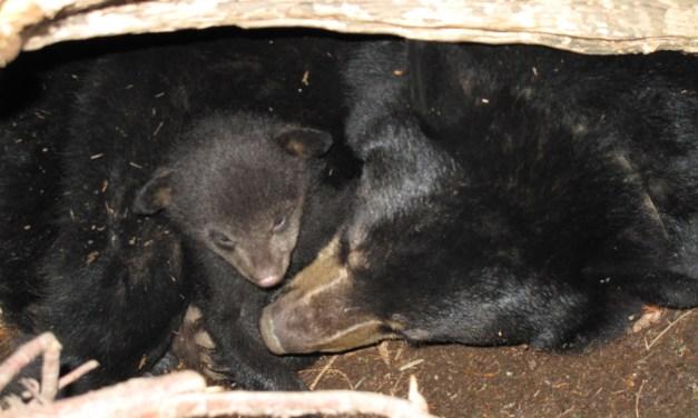 The curious life of hibernating black bears – Questions for our sleepy neighbors