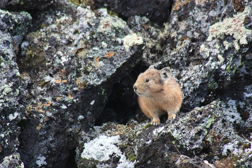 How is climate change impacting the American pika?