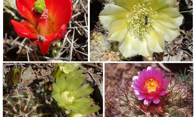 Exploring the prickly worldof Crestone cacti