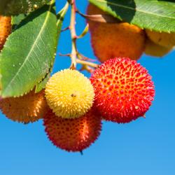 Erdbeerblätterbaumtee
