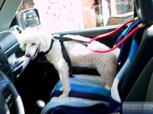Dog strapped in car