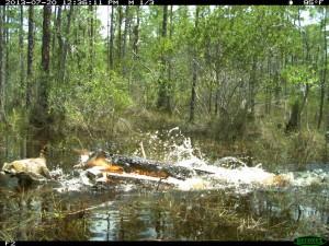 Alligator attacks raccoon (Photo by FFWCC)