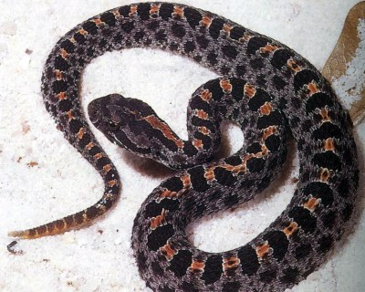 Adult dusky_pygmy_rattlesnake