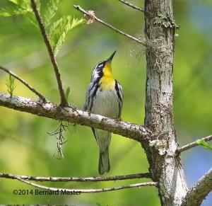 Yellow-throated Warbler, BRS