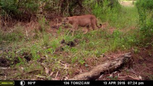 This panther has been photographed before, and my photos are mostly at night.  He appears to be well fed.