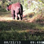 Black Bear on marsh trail