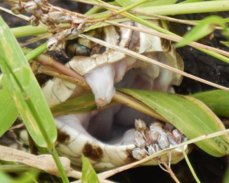 Water moccasin with mouth open