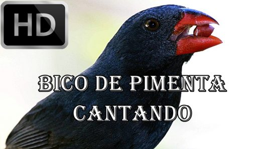 BICO PIMENTA DE CANTO PASSARO BAIXAR DE