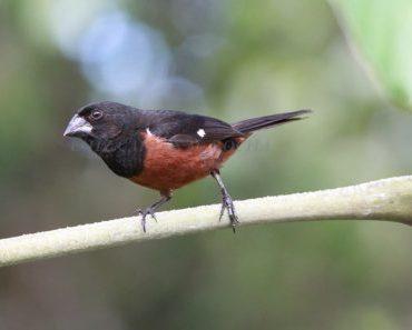 Curió - Sporophila angolensis