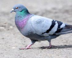 Saiba Tudo Sobre o Pombo doméstico   Casa dos Pássaros