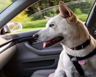 Cachorro no carro: como proteger seu amigo na hora de viajar