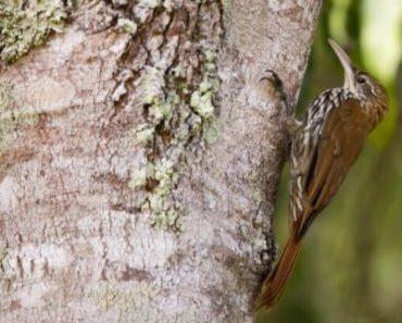 Saiba Tudo Sobre o Arapaçu escamado   Casa dos Pássaros
