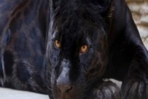 Pantera Negra Animal: Características, Habitat e Fotos