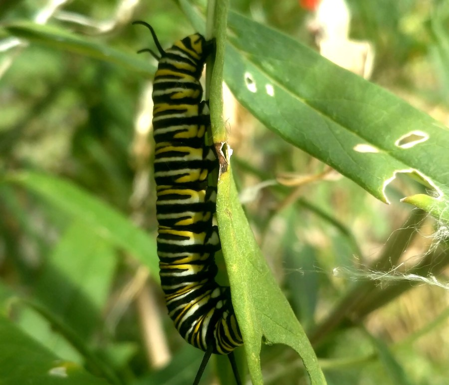 Oruga de mariposa monarca