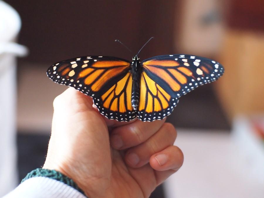 Monarca posada en una mano adulta