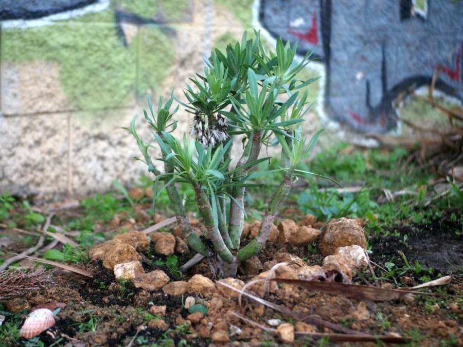 Suculenta tipo crasula recien plantada en un parque