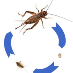 Cricket Life Cycle Diagram Fuse Panel Wiring