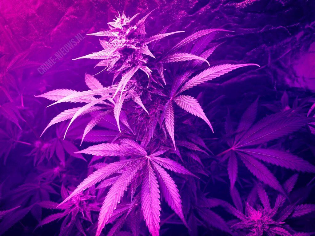 Wietplanten met afgerukte toppen ontdekt door politie na melding verdachtesituatie.