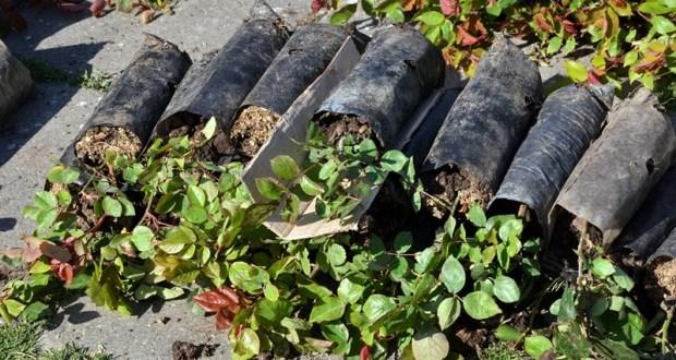 Озеленение Ялты: тысяча кустов роз и сто кустов можжевельника
