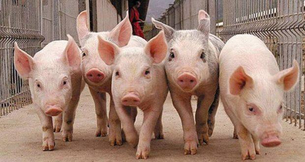 Африканская чума свиней в Крым попала из Украины