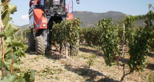 «Массандра» убирает виноград комбайном