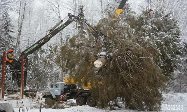 27-метровая новогодняя ель из Вологды собирается в Симферополь