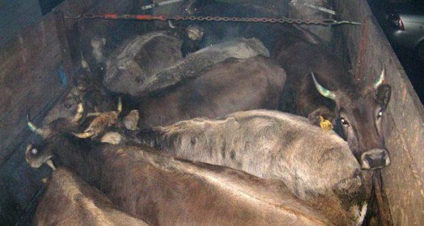 На Керченской переправе остановили... коров, направлявшихся в Крым