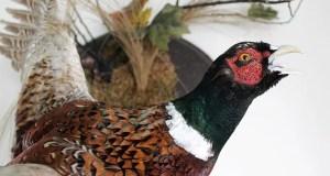 Чучело фазана в Крым
